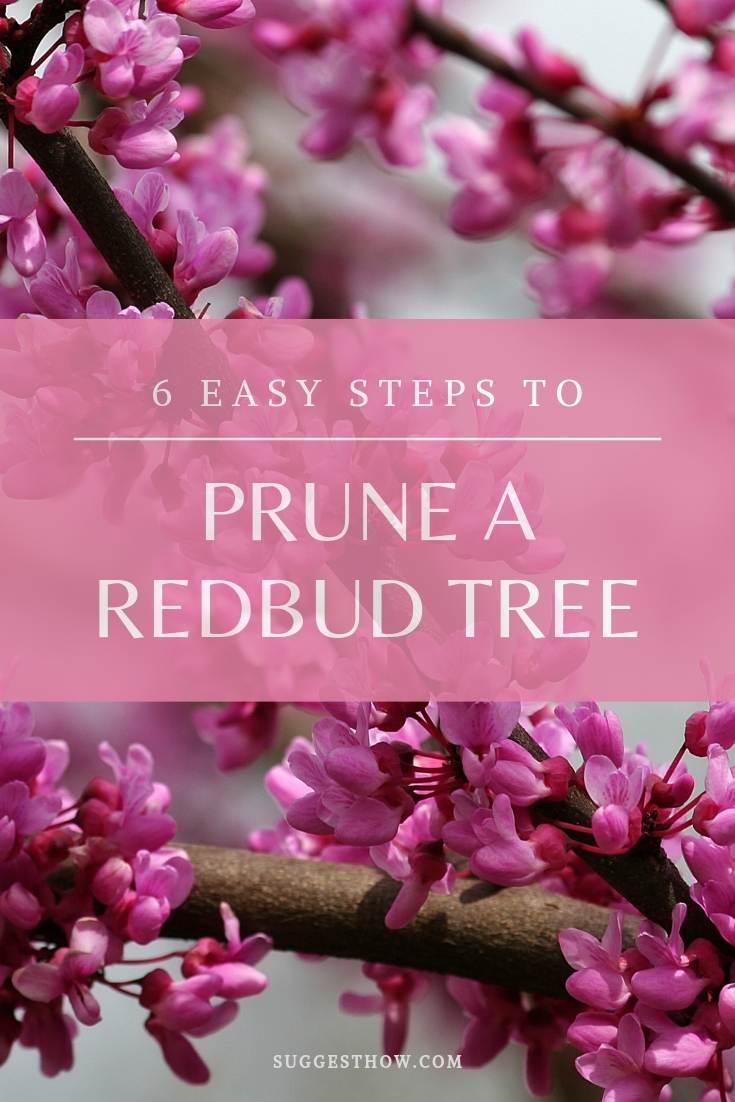 6 Easy Steps to prune redbud tree