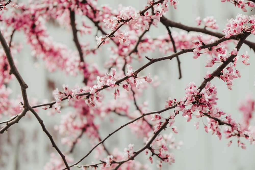 how to prune a redbud tree