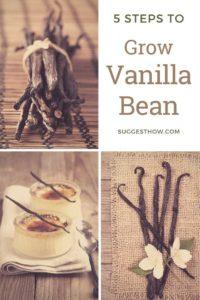 how to grow vanilla bean