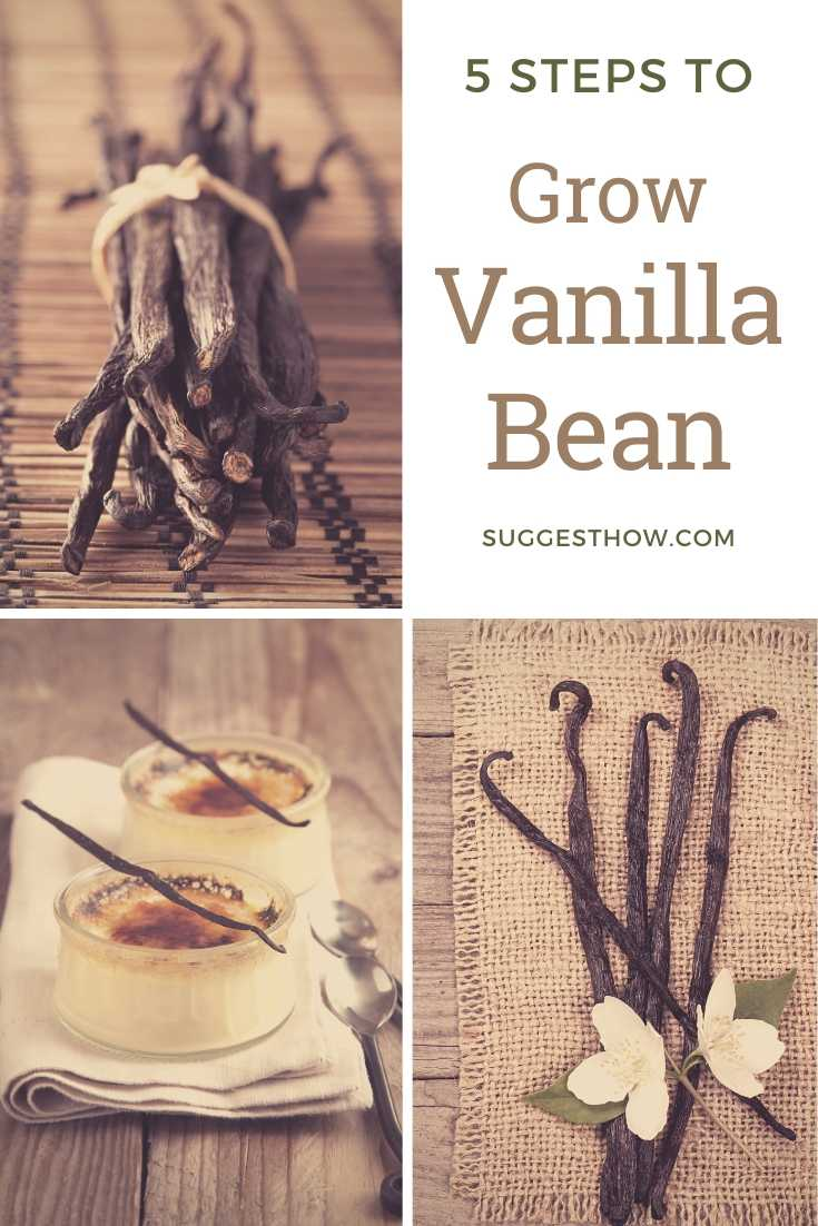 how to grow vanilla bean