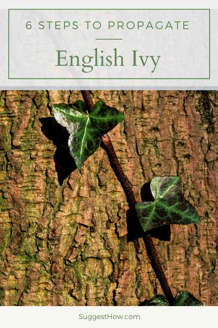 how to propagate english ivy