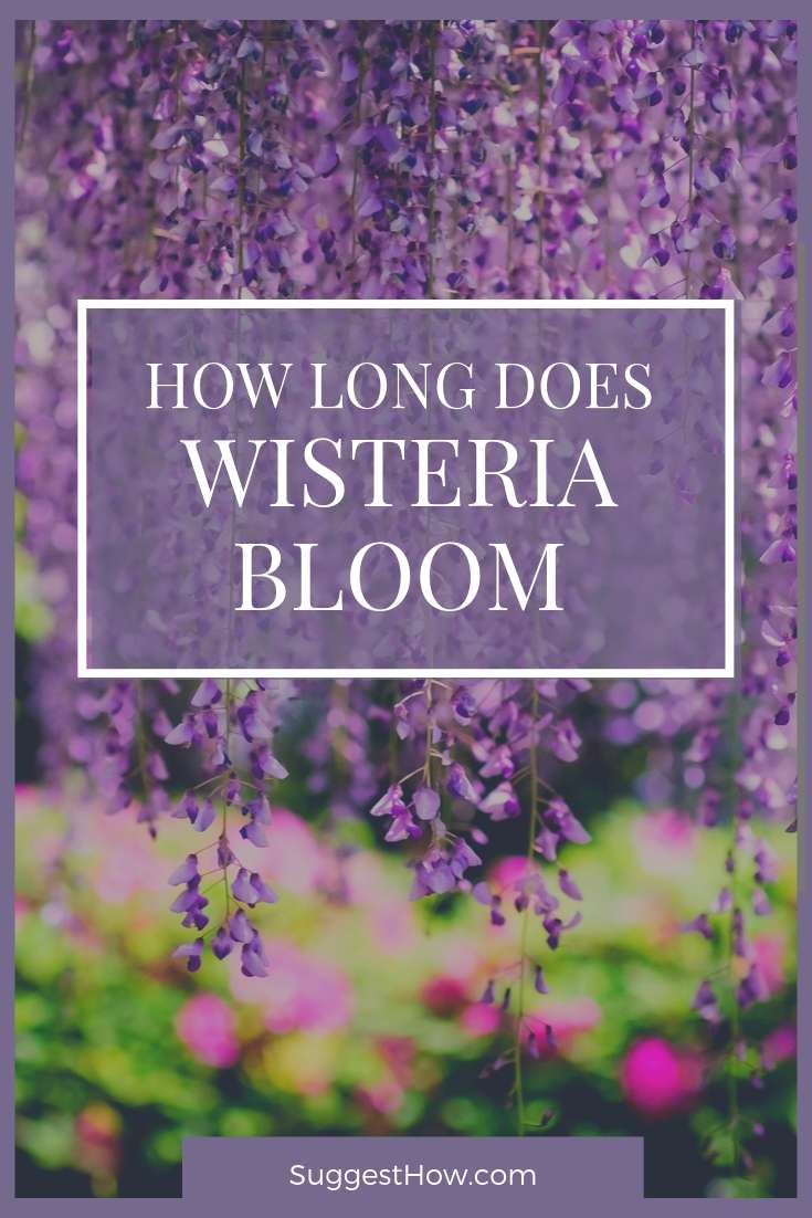 How Long Does Wisteria Bloom