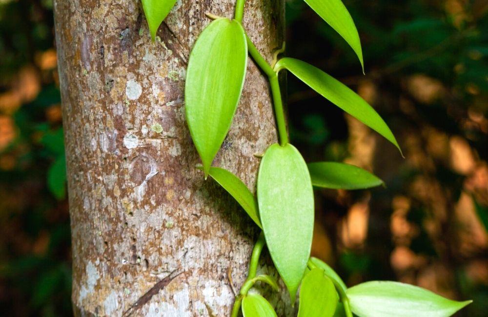 Vanilla bean vine growing on a tree