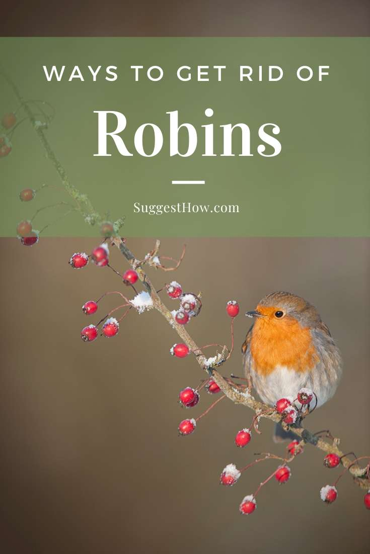 how to get rid of robins