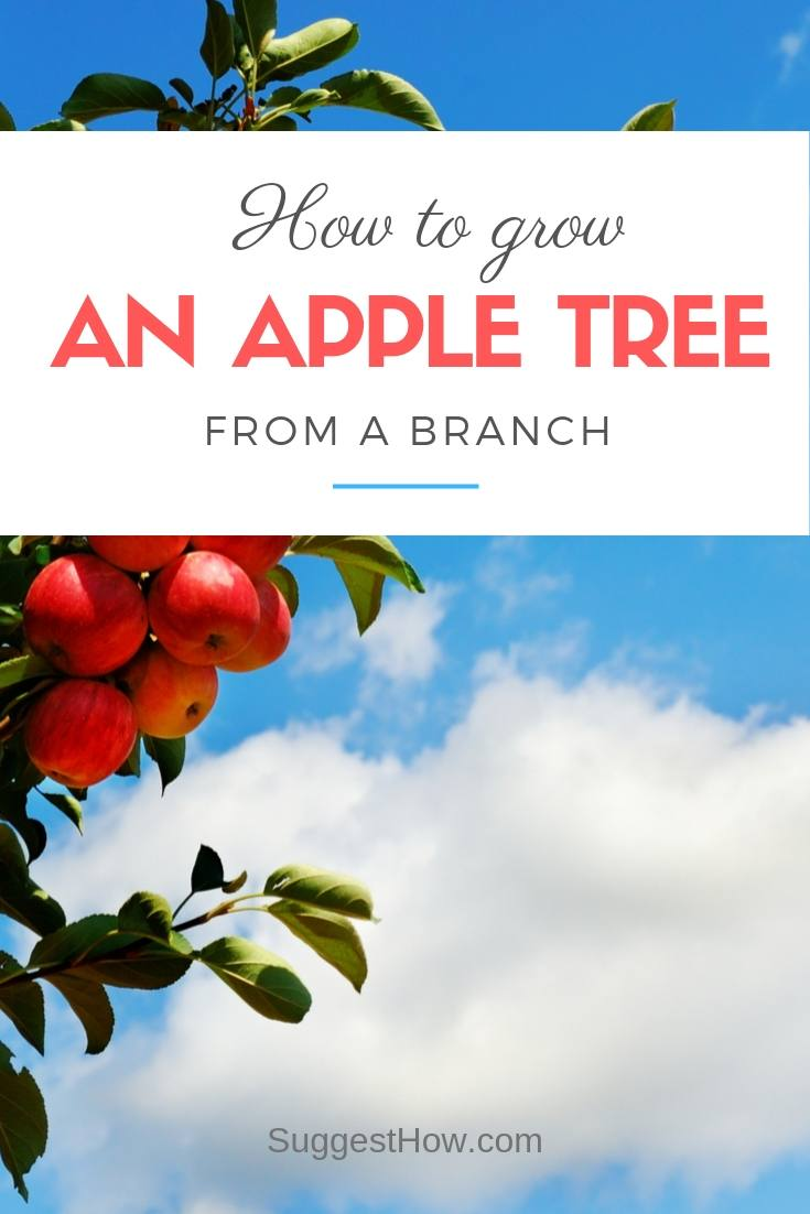 how to grow an apple tree from a branch