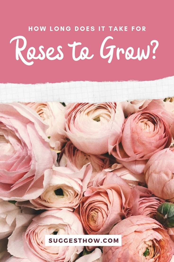 how long does it take for roses to grow