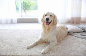cleaning dog poop from carpet