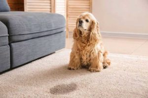 dog urine cleaning tips from carpet