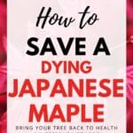 how to save a dying japanese maple tree